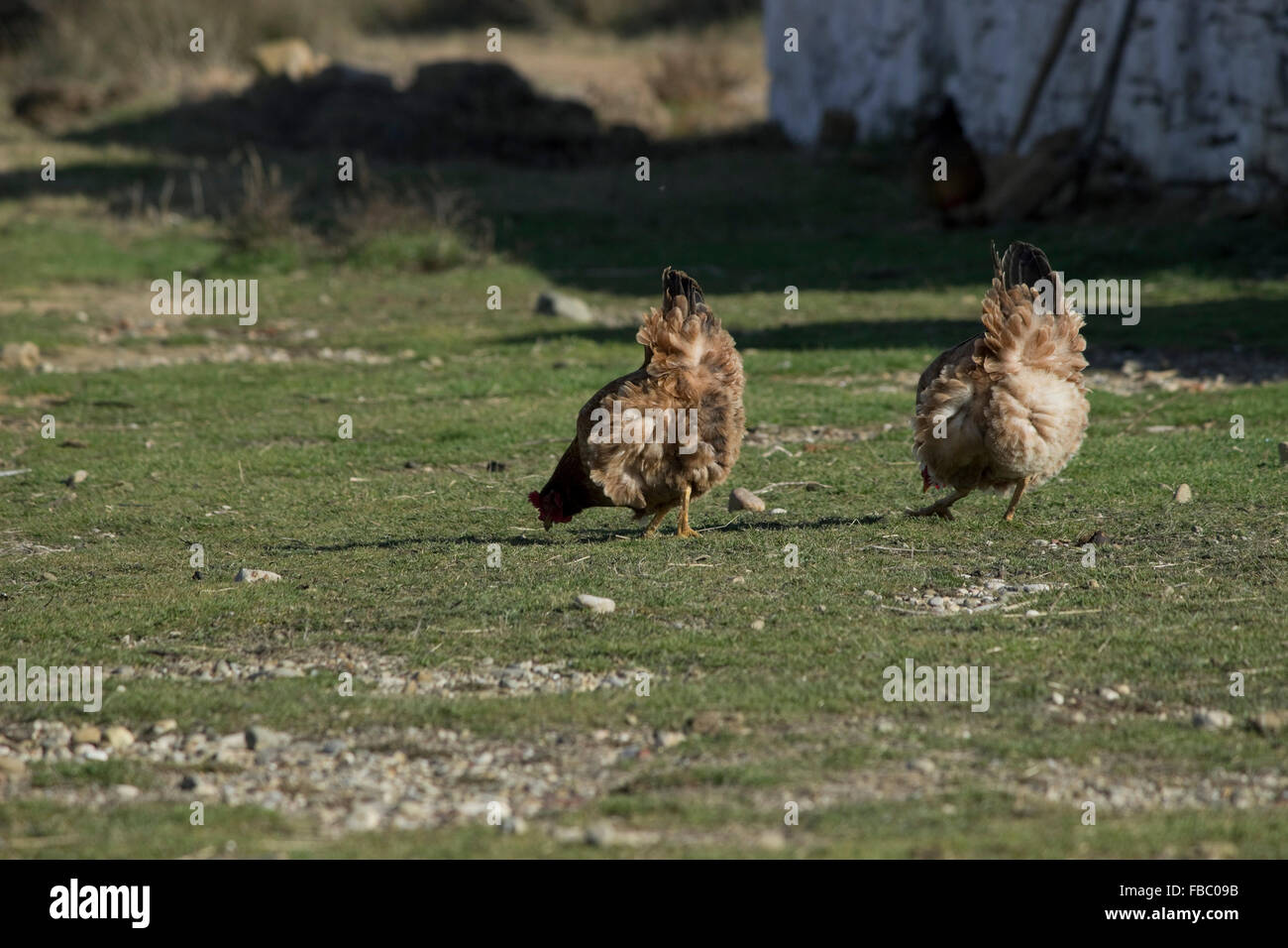 Free range greek hens/ chicken poultry grazing in the countryside in an organic farm on Lemnos or limnos island, - Stock Image