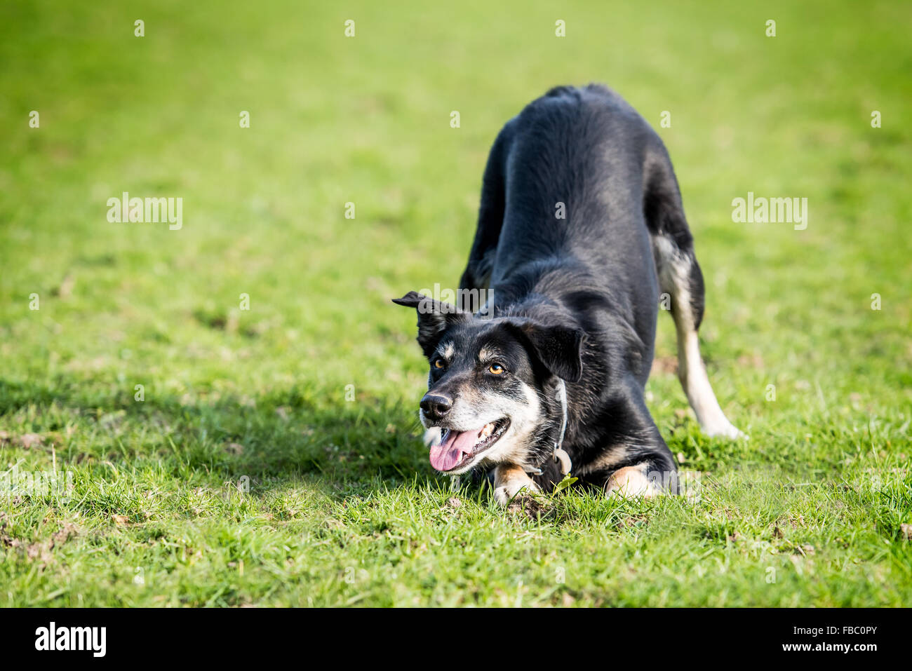 Sheep dog crouched waiting to play. - Stock Image