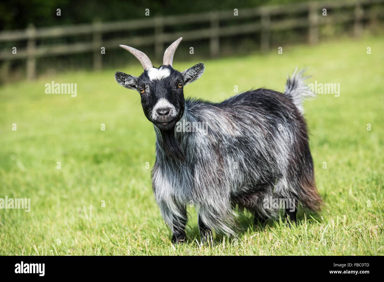 Long coated female pygmy goat with horns. - Stock Image
