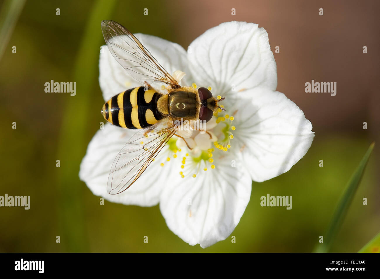 Hover fly, hoverfly, syrphid fly, flower fly, female, Behaarte Schwebfliege, Weibchen, Blütenbesuch, Syrphus - Stock Image