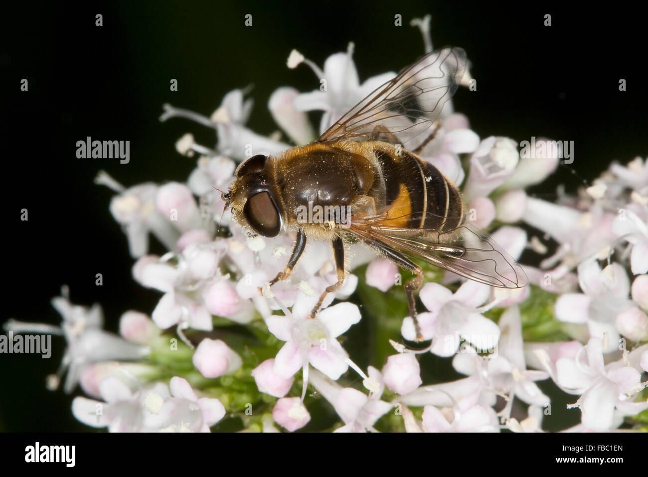 Lesser drone fly, hoverfly, Kleine Bienen-Schwebfliege, Kleine Bienenschwebfliege, Eristalis arbustorum, Blütenbesuch - Stock Image