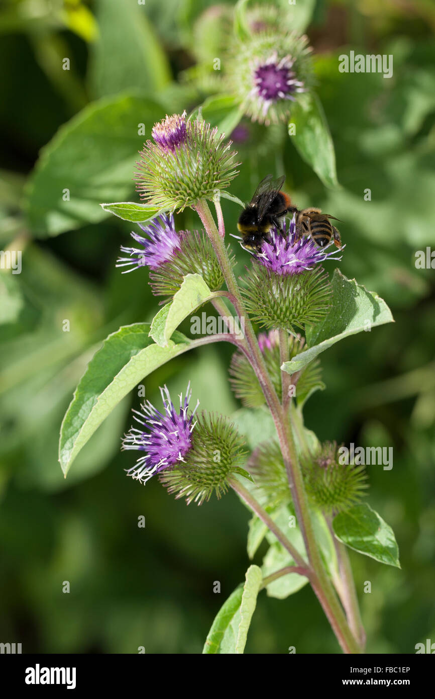 Lesser burdock, burweed, louse-bur, button-bur, cuckoo-button, wild rhubarb, Kleine Klette, Arctium minus, Arctium - Stock Image