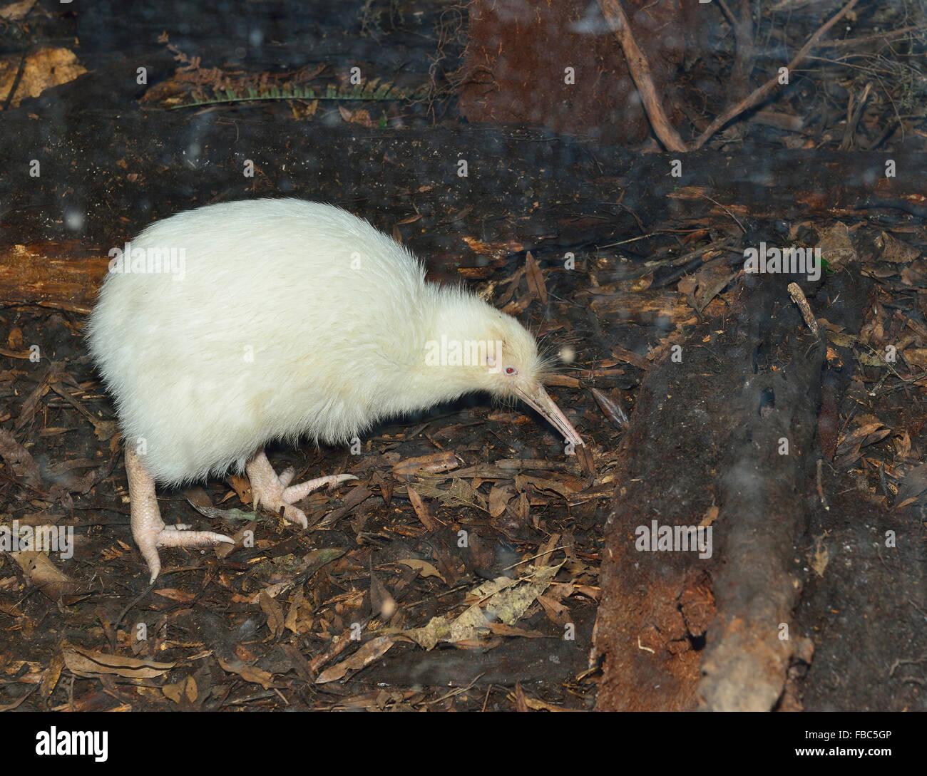 The Manukura Little White Kiwi-one of  New Zealands Iconic national images  foraging at  Pukaha Mount Bruce Wildlife Stock Photo