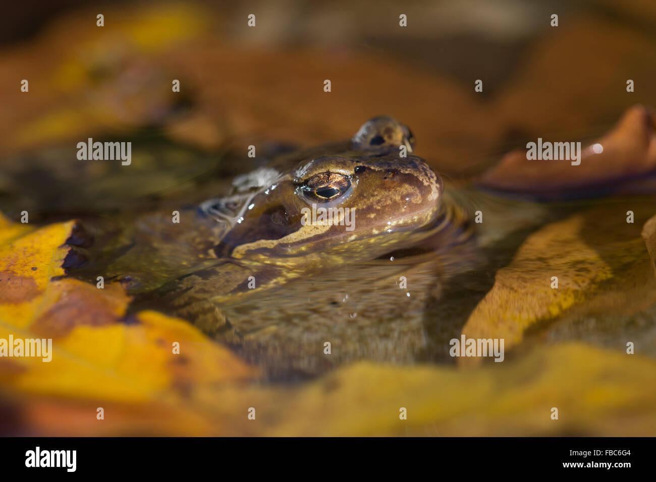 Common Frog; Rana temporaria Single in Pond; Cornwall; UK - Stock Image