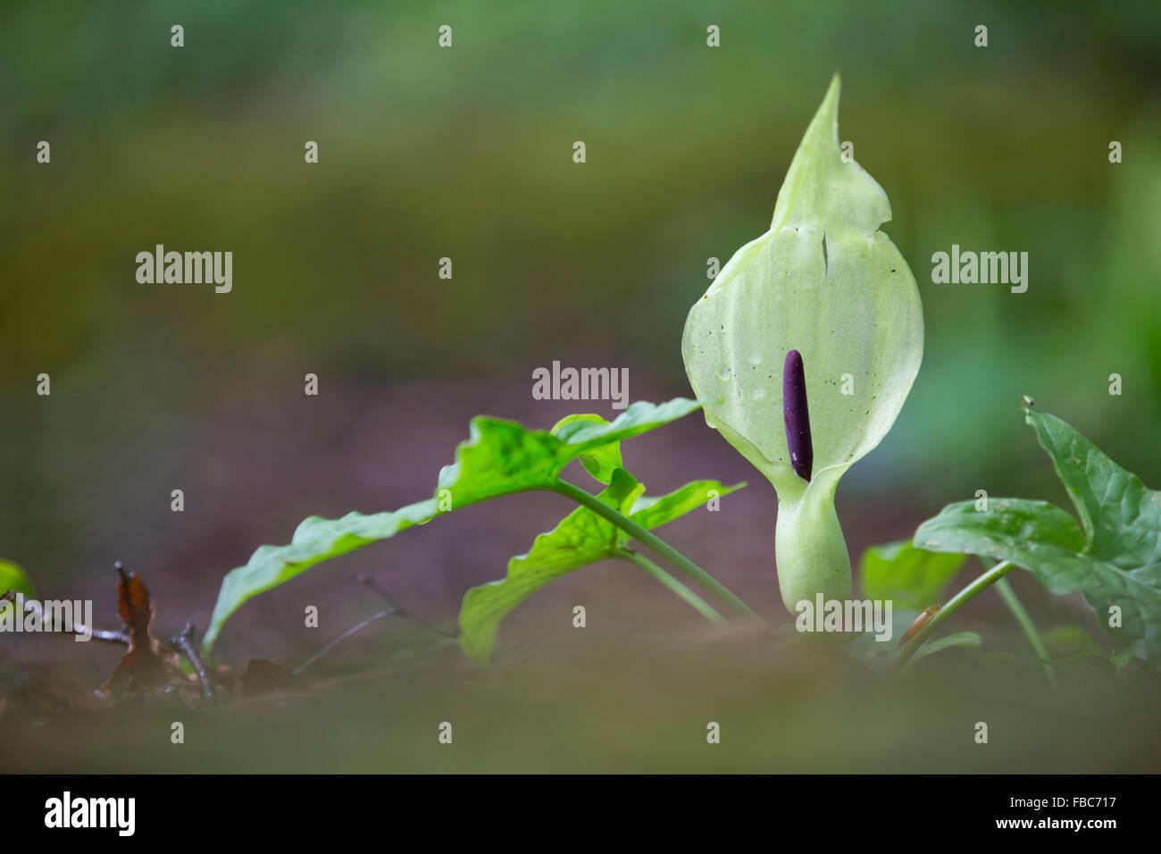 Cuckoo Pint; Arum maculatum Spadix; Cornwall; UK - Stock Image