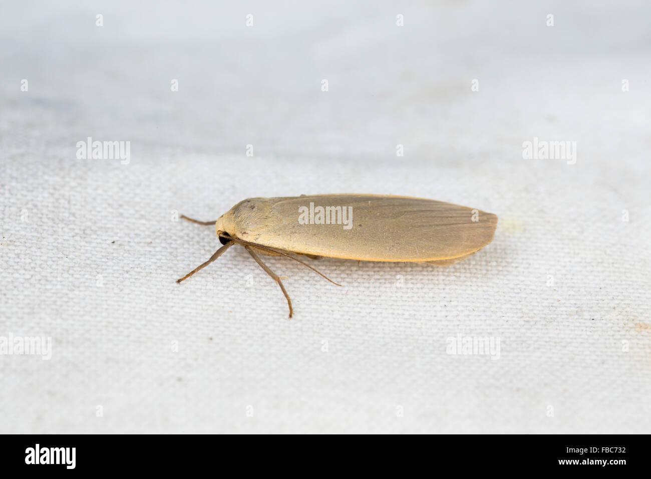 Dingy Footman Moth; Eilema griseola; UK Stock Photo