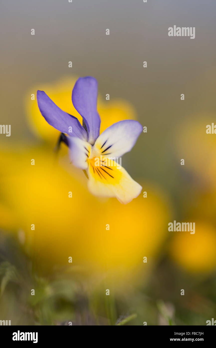 Dune Pansy; Viola tricolor ssp. curtisii Flower; Anglesey; UK - Stock Image