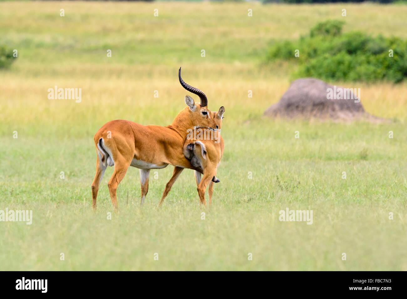 Ugandan Kob antelope during mating, Queen Elizabeth National Park, Uganda - Stock Image