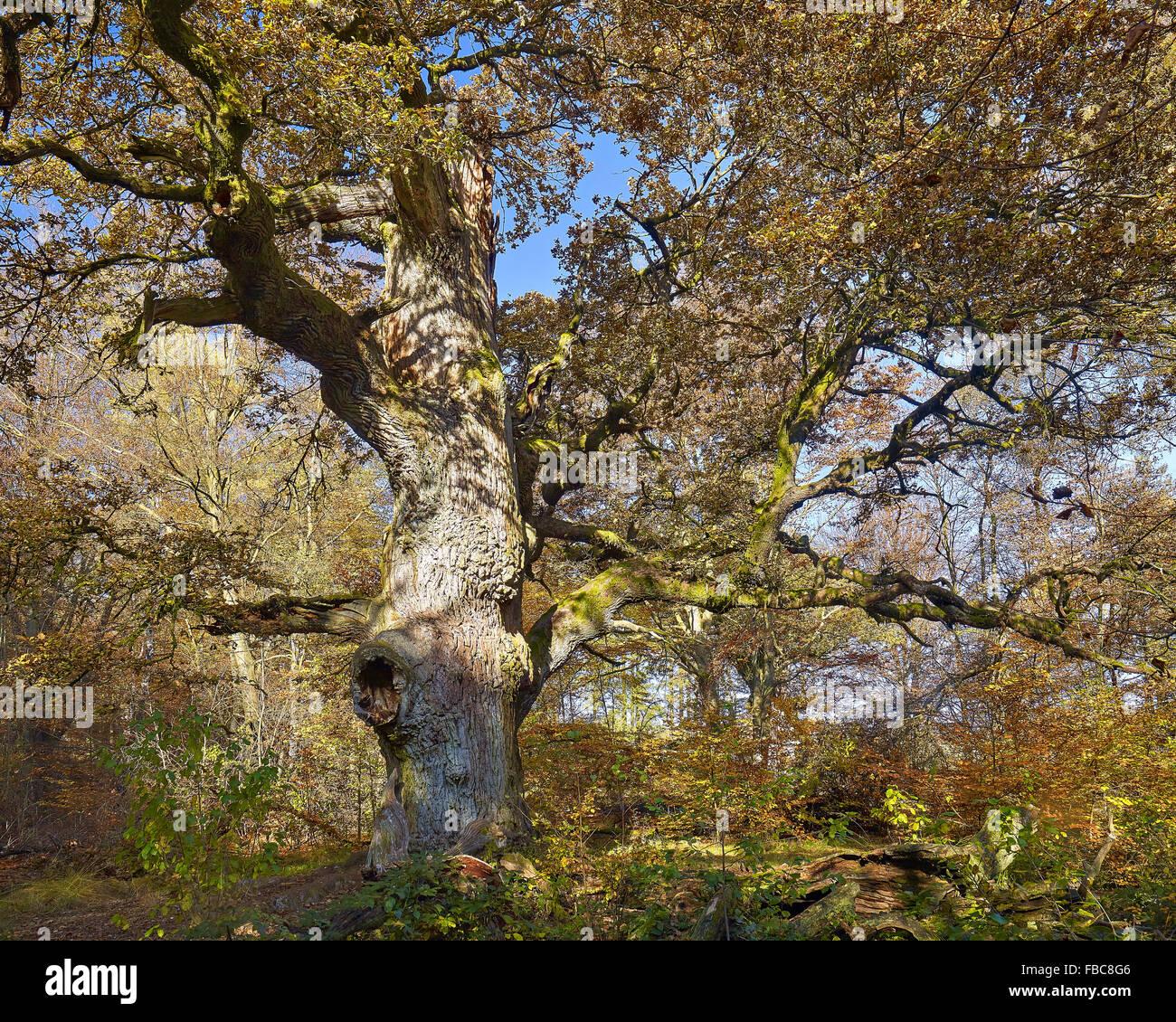 Nature reserve Sababurg Forest,  Hesse, Germany Stock Photo