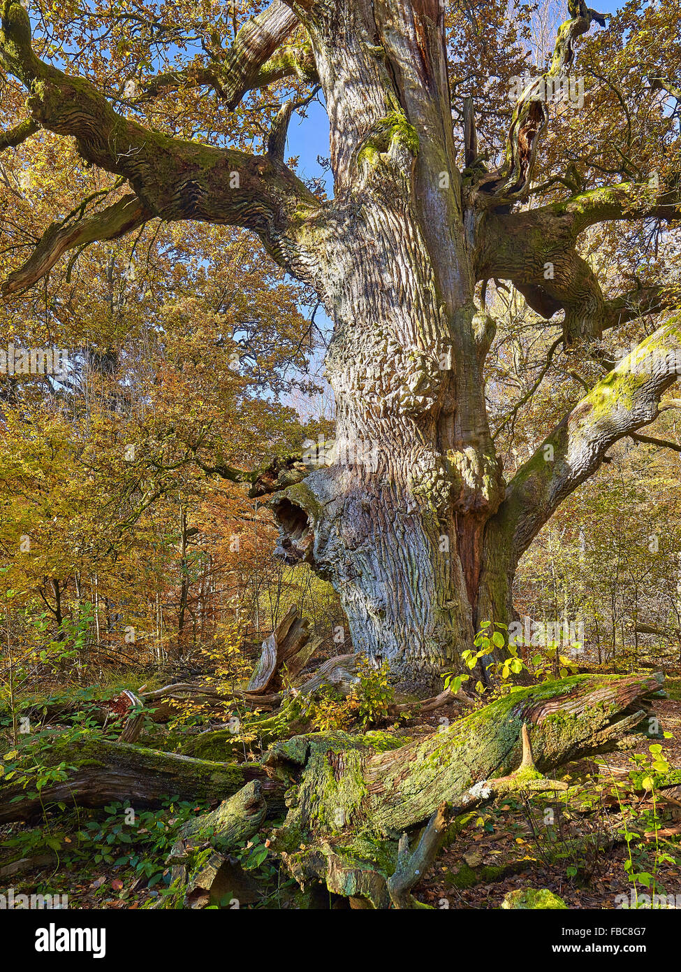 Nature reserve Sababurg Forest,  Hesse, Germany - Stock Image