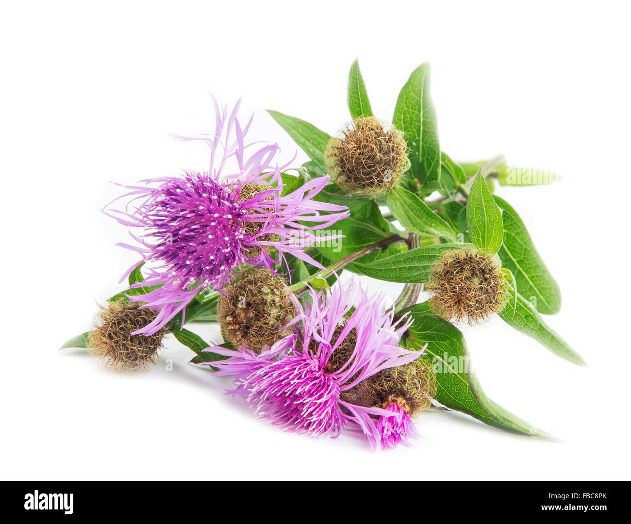 Spear Thistle (Cirsium vulgare) medicinal plant isolated on white - Stock Image