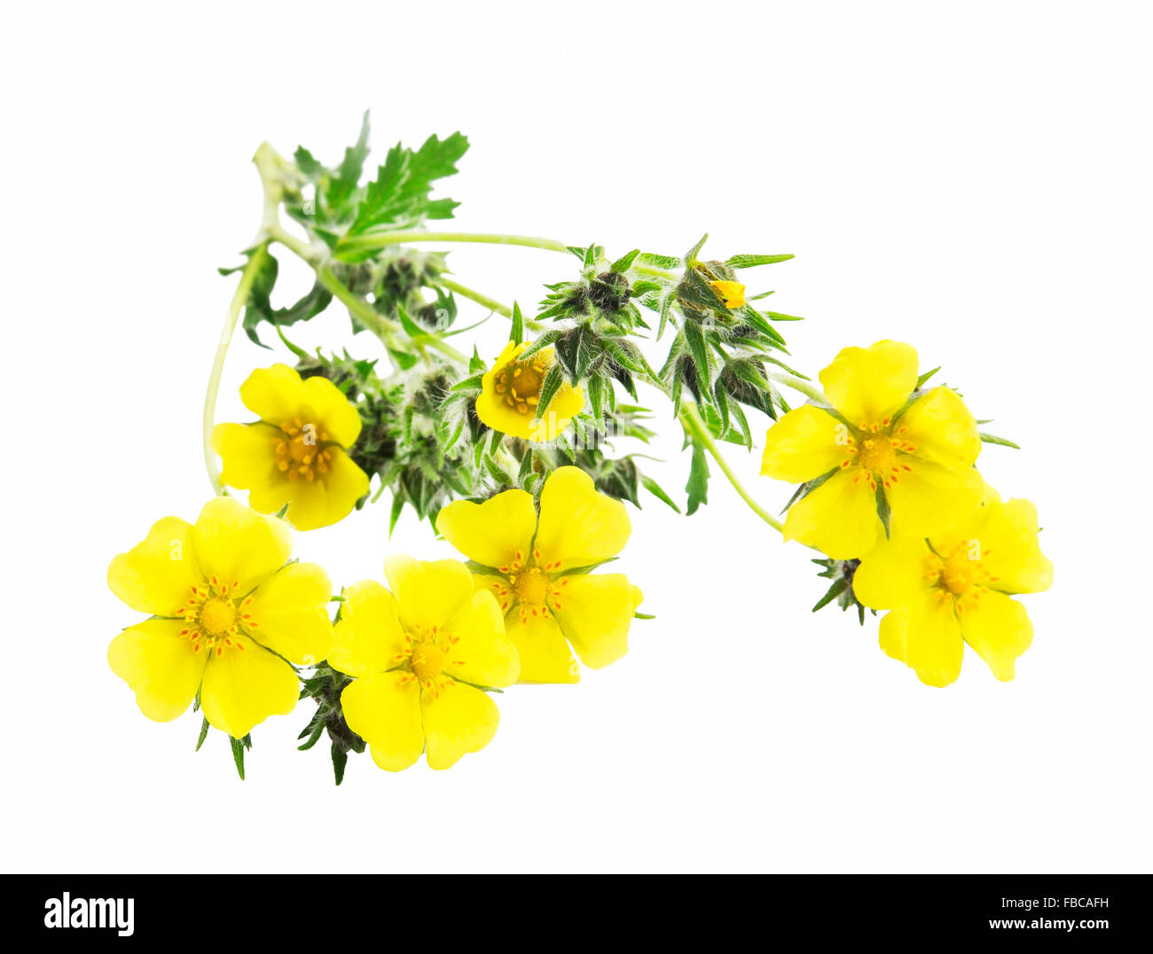 White cinquefoil root: use in traditional medicine 49