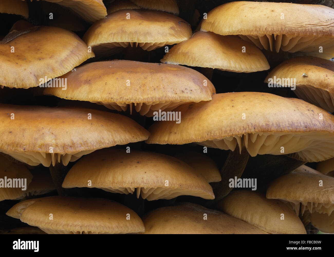 Small toadstool fungi Flammulina velutipes Velvet Foot Shank - Stock Image