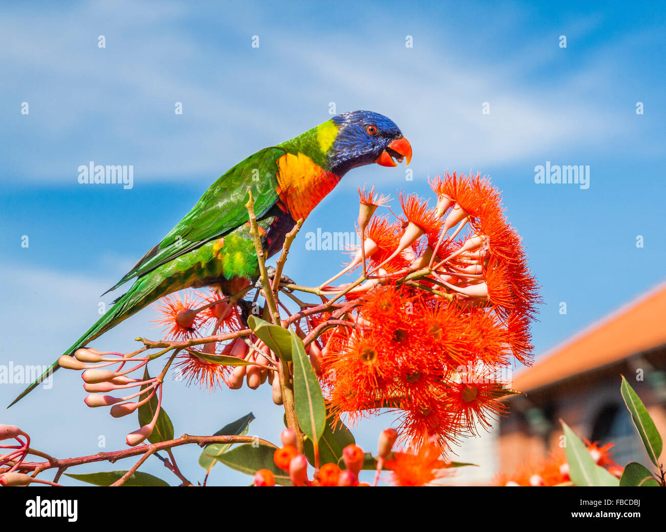 Rainbow Lorikeet feasting on a Red flowering gum - Stock Image