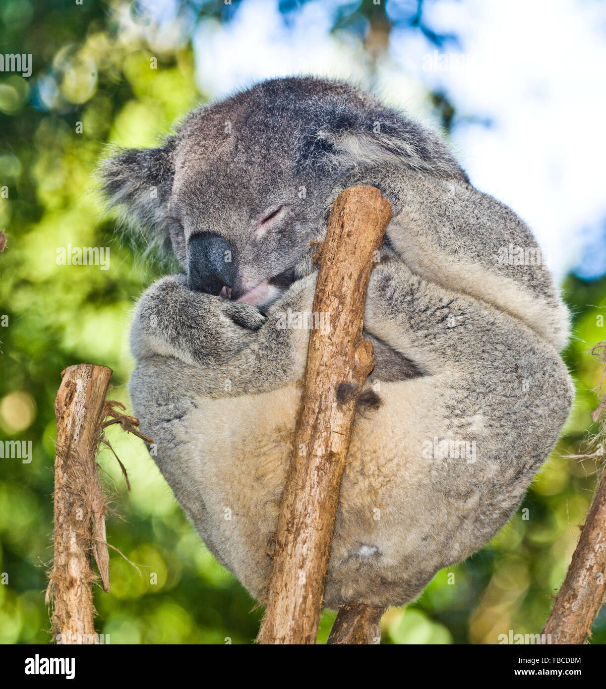 Australia, snoozing Koala, Phascolarctos cenereus, thickset arboreal marsupial herbivore native to Australia - Stock Image