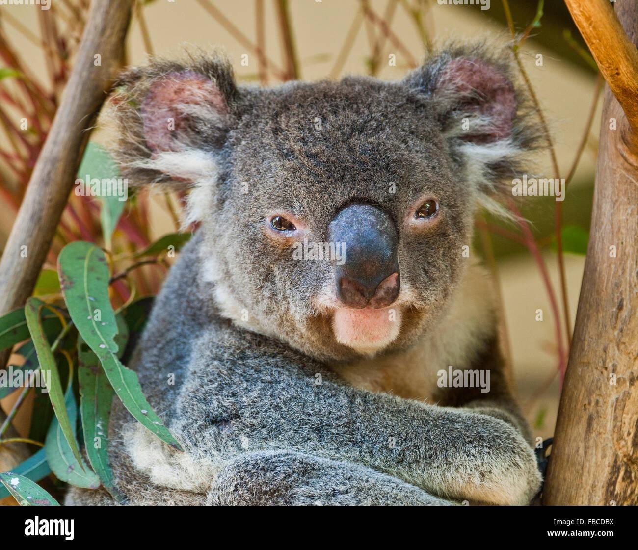 Australia, Koala, Phascolarctos cenereus, thickset arboreal marsupial herbivore native to Australia - Stock Image