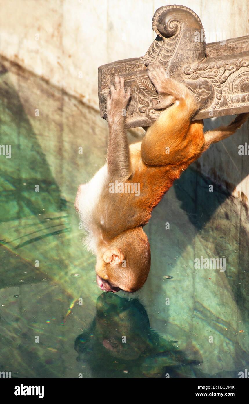 Monkey hanging upside down at Swayambhunath stupa or Monkey Temple Kathmandu Nepal - Stock Image