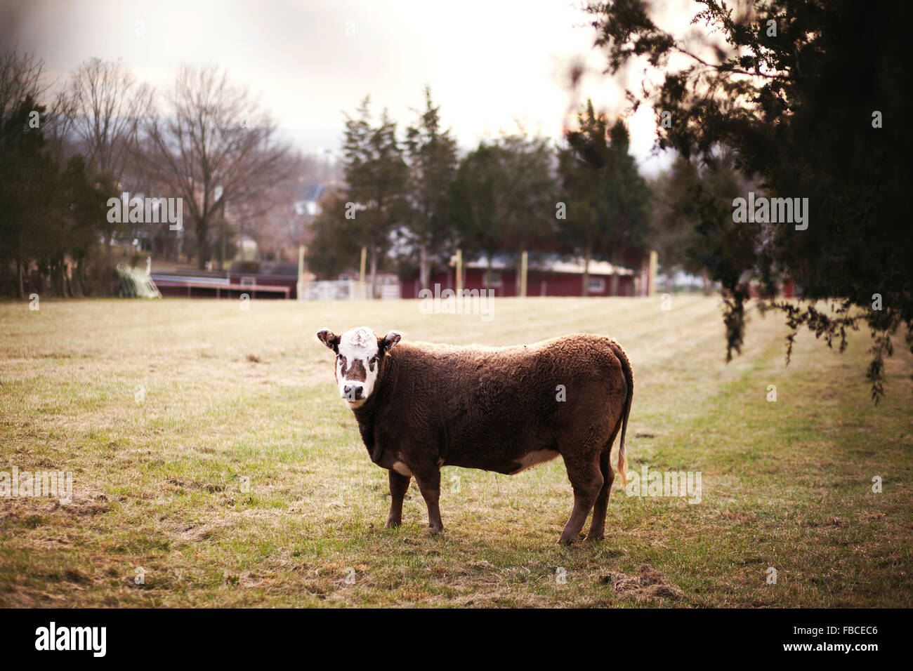Single brown and white cow standing alone in muted green grass field with red barn in background and hints of tree - Stock Image