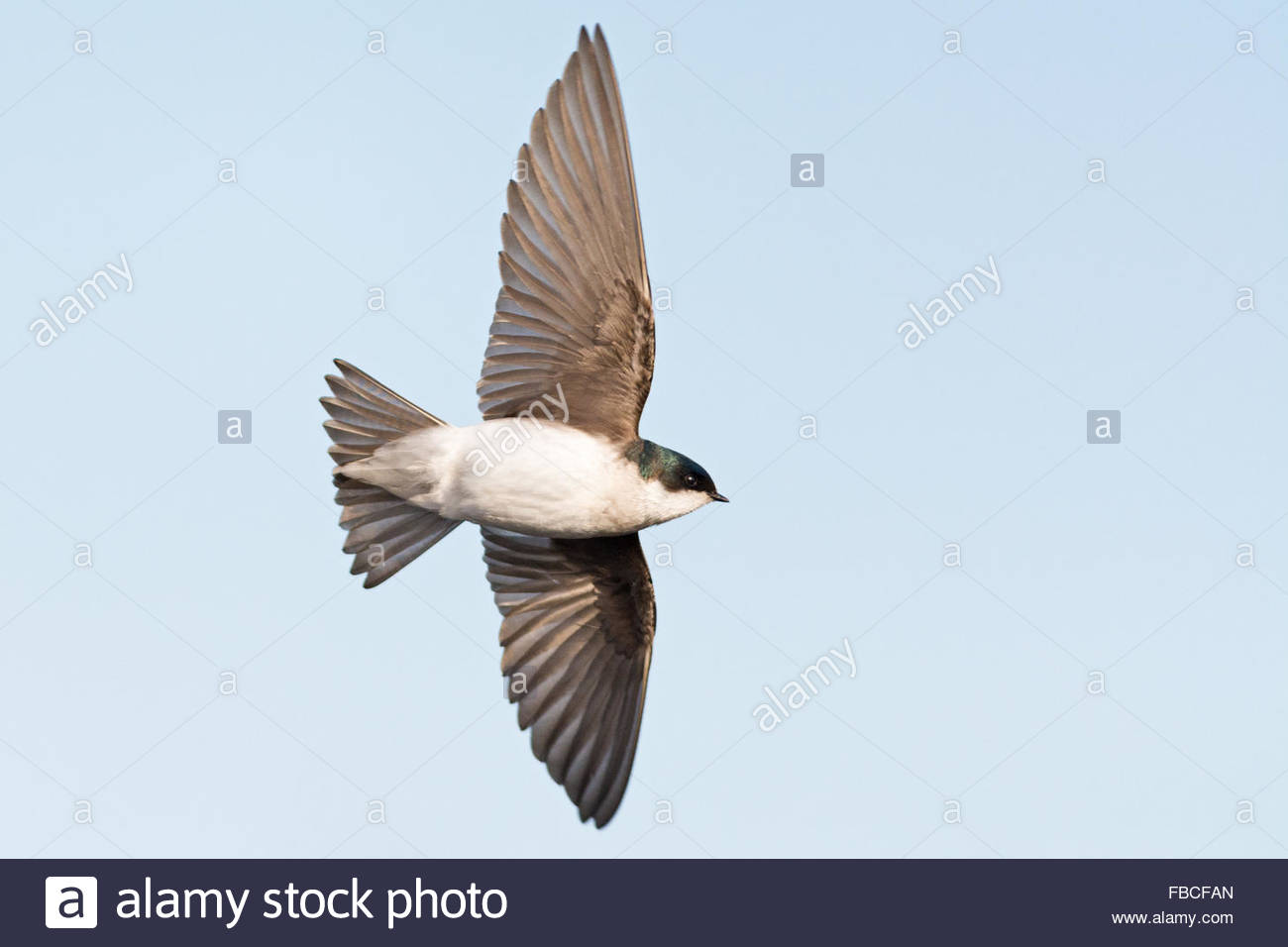 Profile view of a Tree Swallow in flight showcasing the beauty of the birds wings and tail feathers. Set off by Stock Photo
