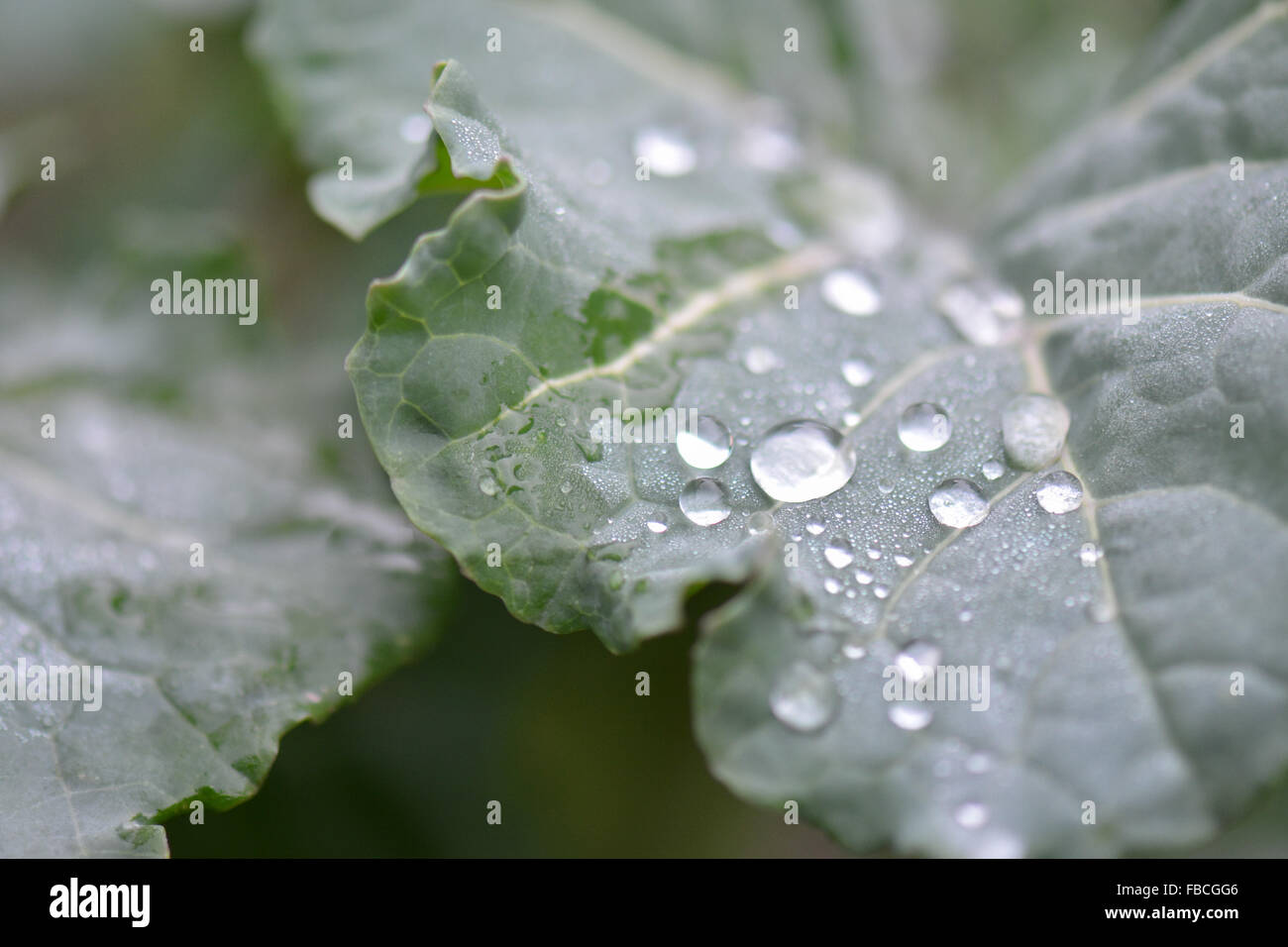 drops of dew on purple sprouting broccoli plant leaves - Stock Image