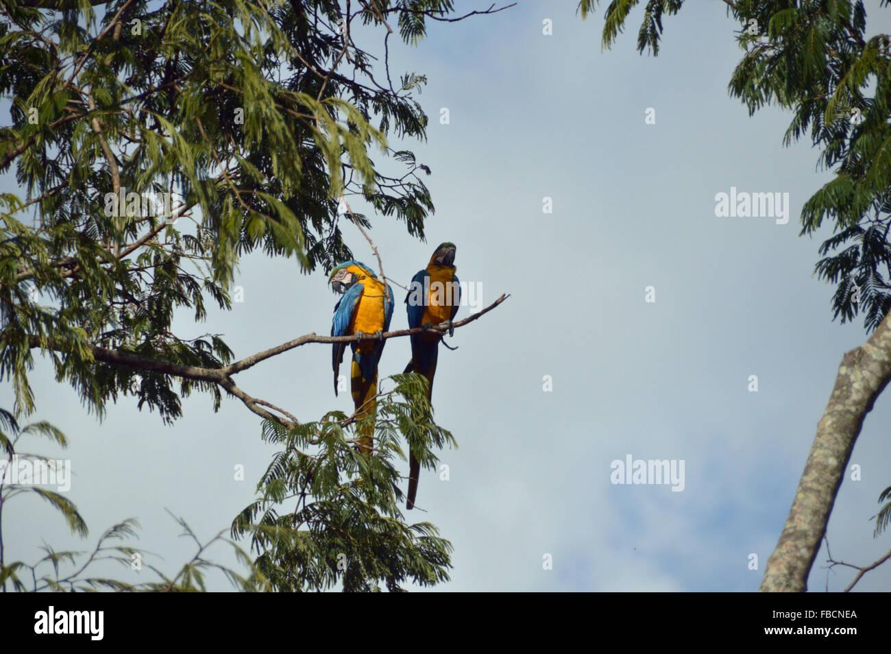 Araras canindé, blue and yellow macaws, birds, aves da Chapada dos veadeiros, Goiás. - Stock Image