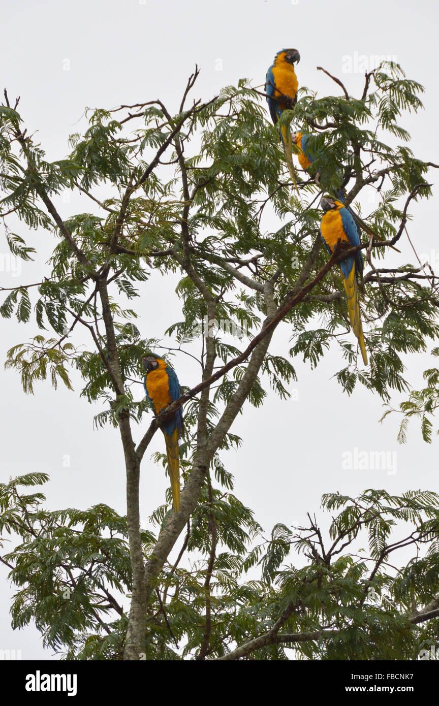 Arara caninde,Blue and yellow Macaws at a tree, birds, aves, Chapada dos Veadeiros, Brazil - Stock Image