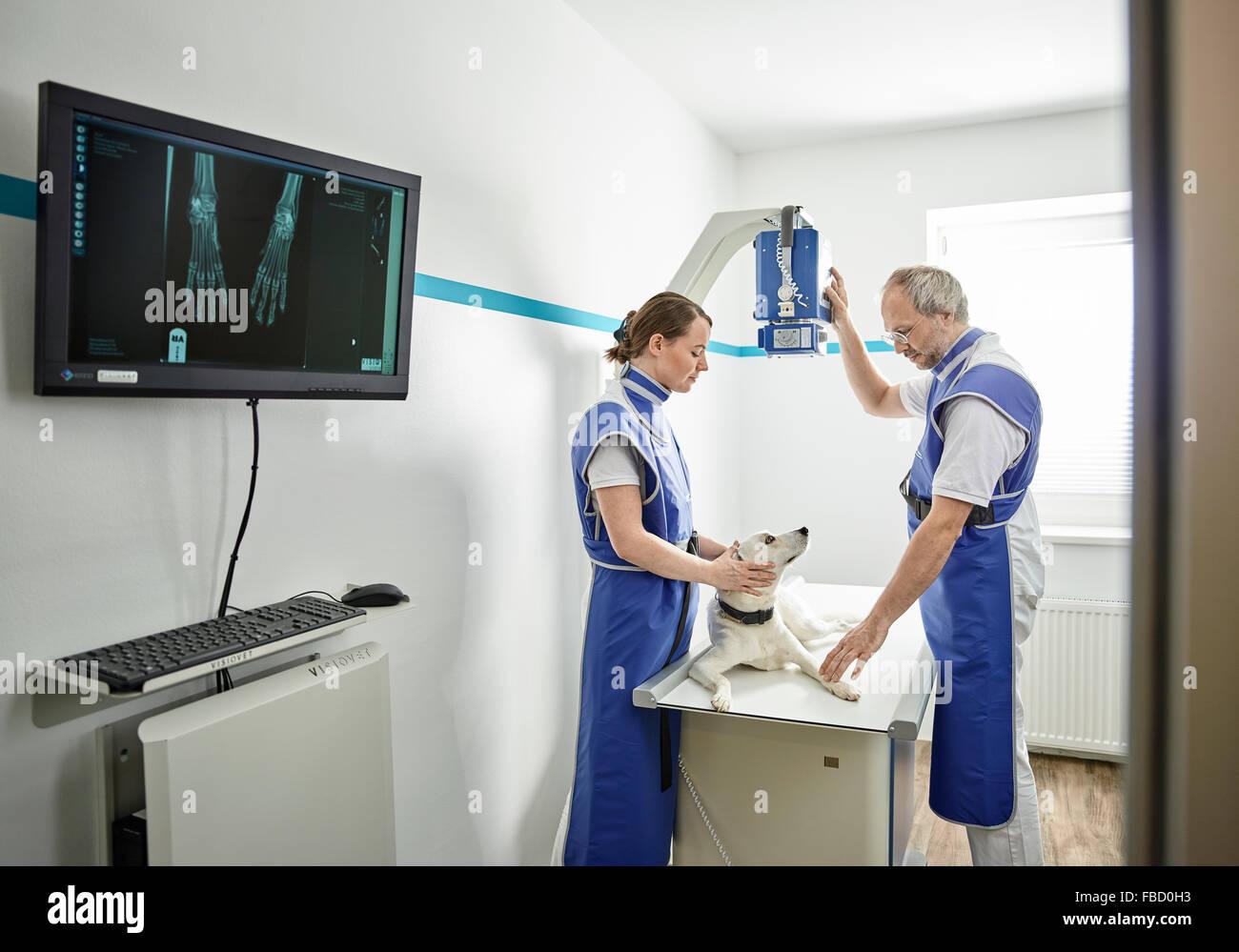 Vets examining dog in veterinary practice, X-ray, Austria - Stock Image