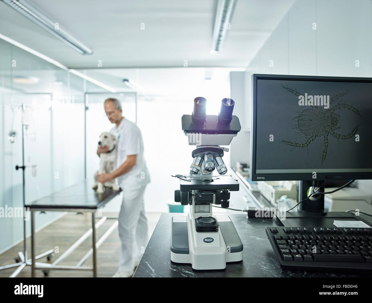 Microscope in veterinary practice, microscopic enlargement of mite on monitor screen, vet examining dog, Austria - Stock Image