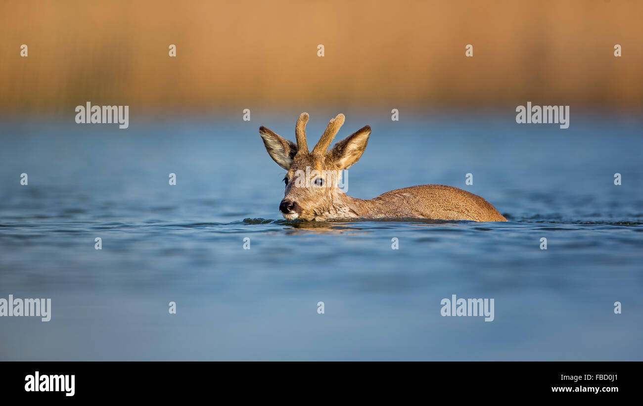 Reh (Capreolus capreolus) swimming, buck in velvet, Middle Elbe Biosphere Reserve, Saxony-Anhalt, Germany Stock Photo