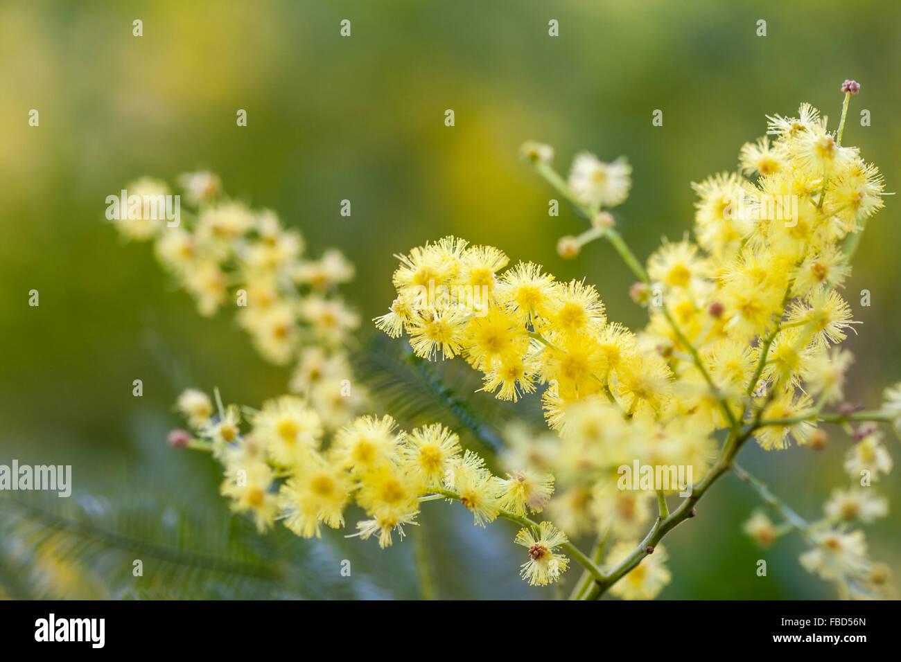 Acacia Dealbata Yellow Stock Photos Acacia Dealbata Yellow Stock