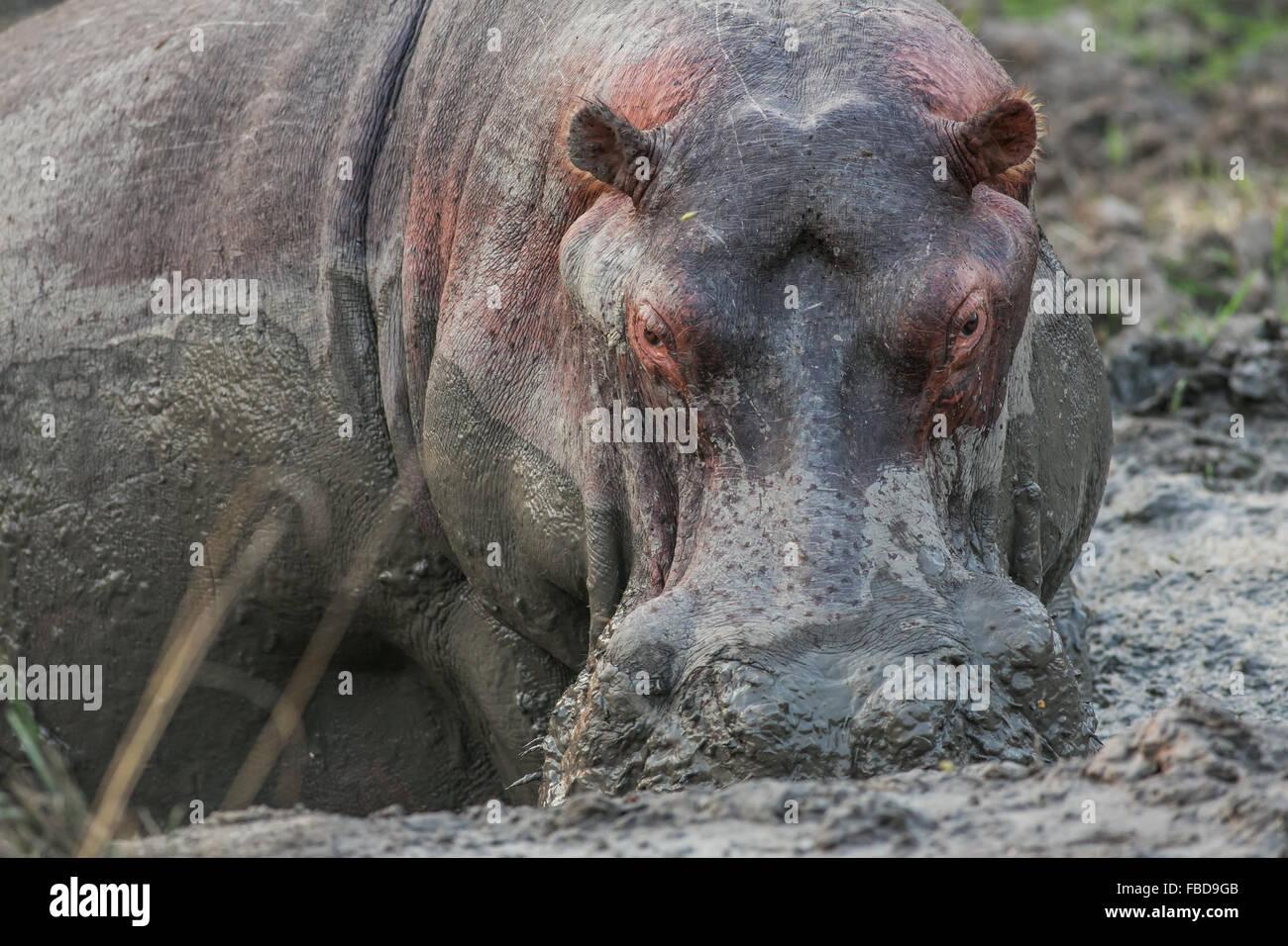 A large adult hippopotamus (Hippopotamus amphibius) wallowing in a mud pool, South Luangwa National Park, Zambia, - Stock Image