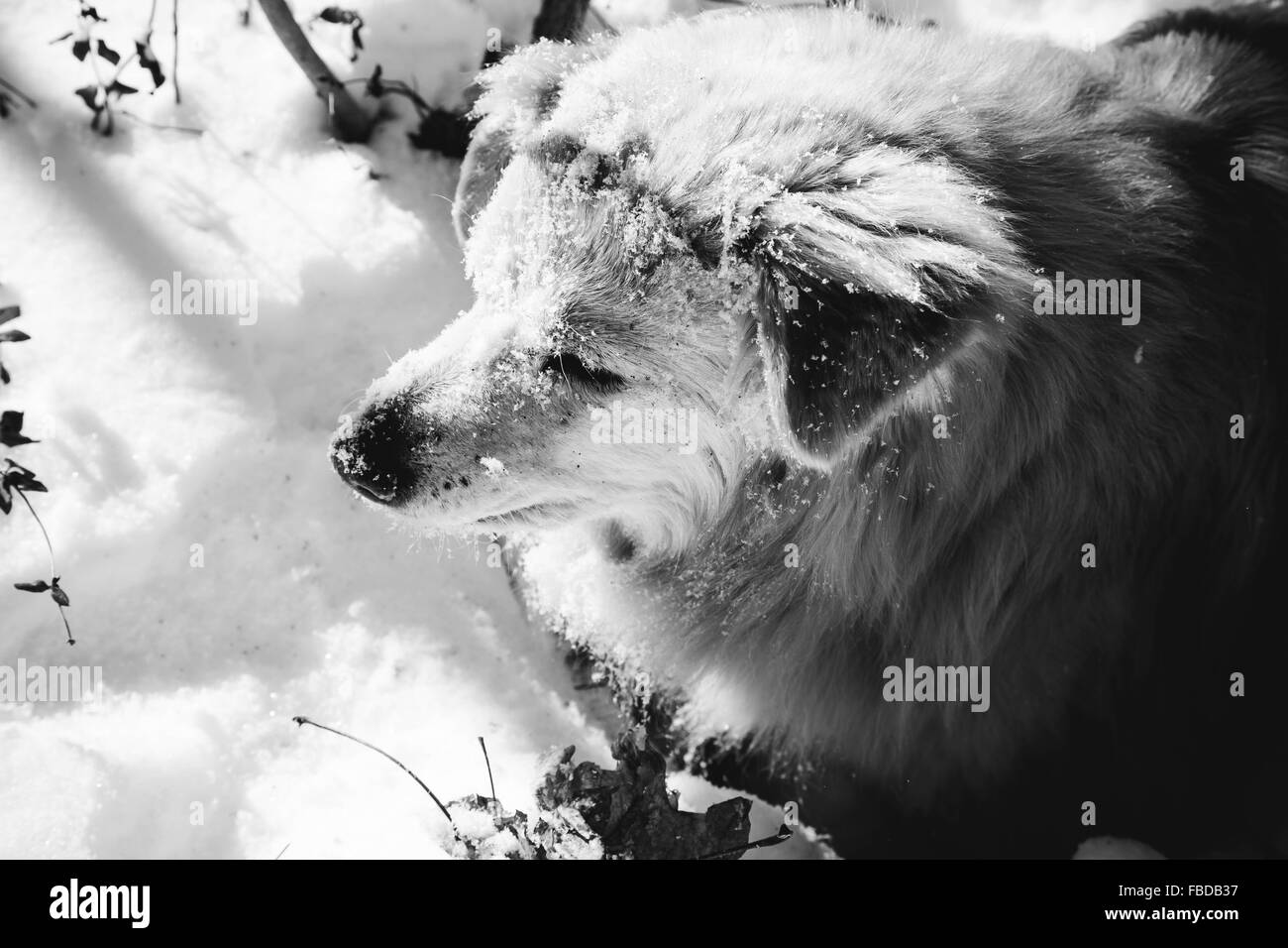 Close-Up Of Dog Standing On Snow - Stock Image