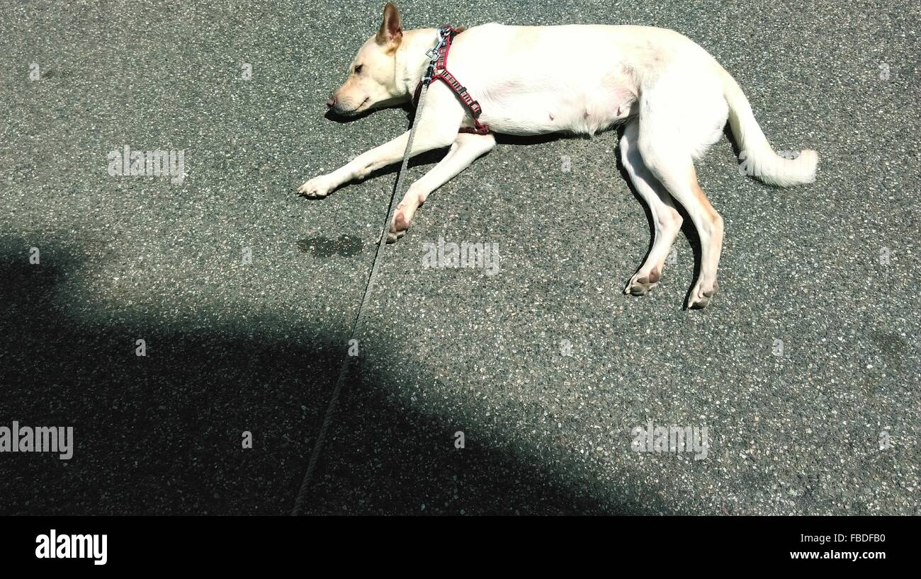 High Angle View Of A Dog Sleeping On Road - Stock Image