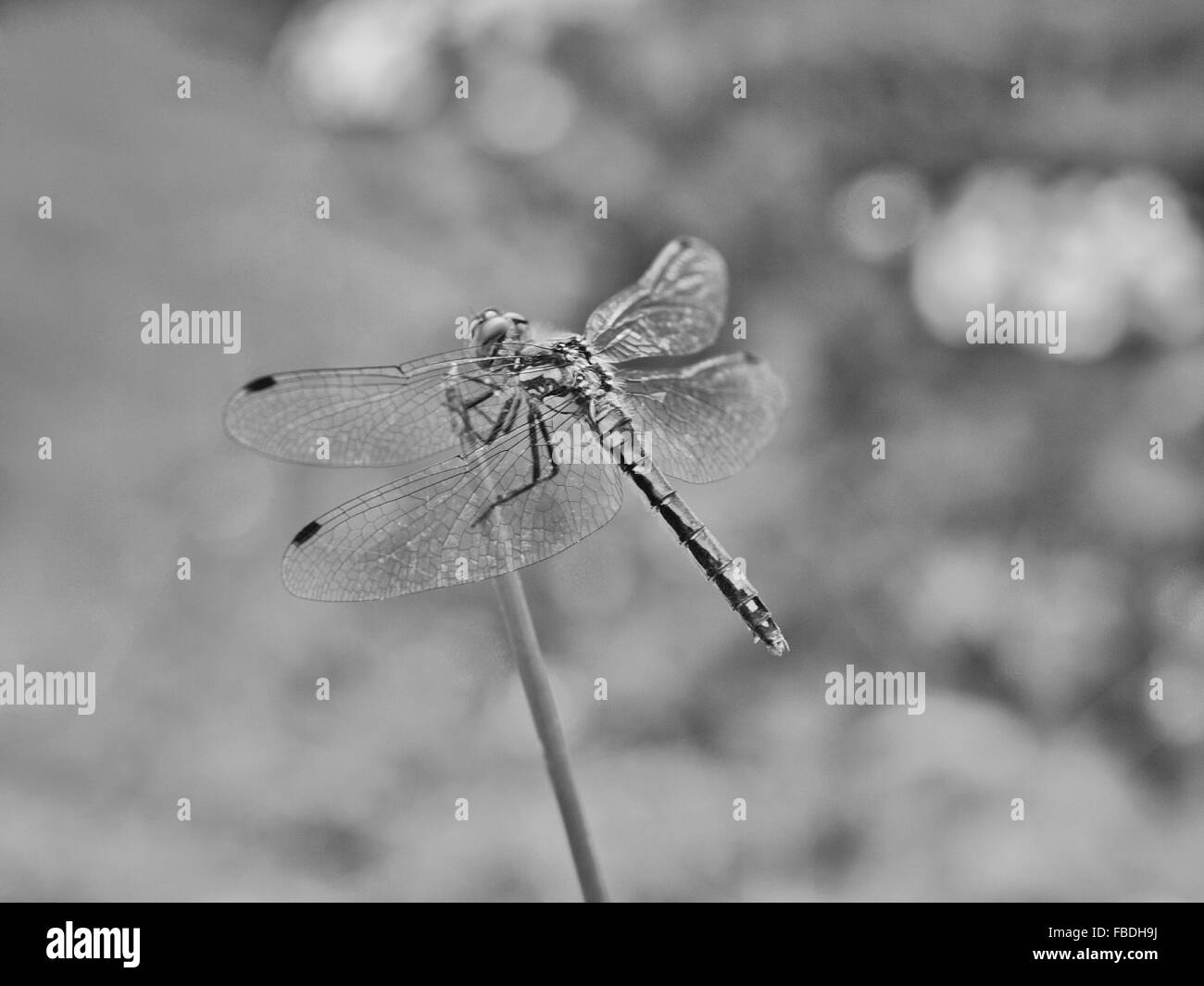 Dragonfly Perching On Twig - Stock Image