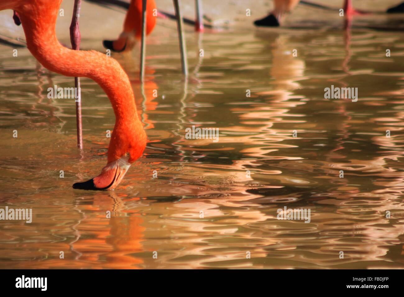 Close-Up Of Flamingos In Lake - Stock Image
