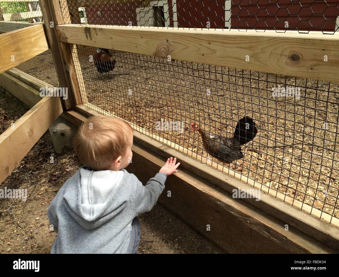 Boy Watching Hen In Poultry Farm - Stock Image