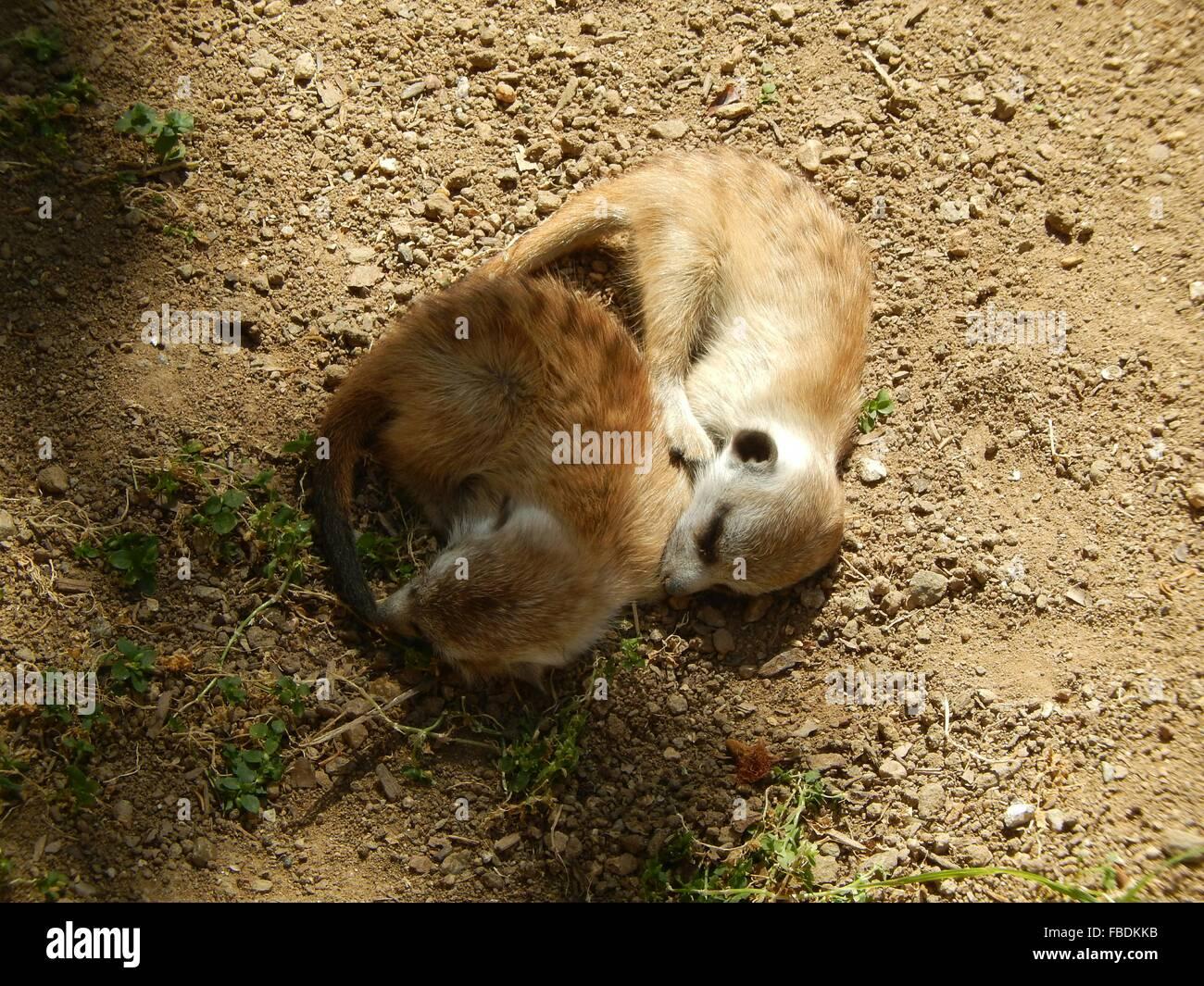 Meerkats Sleeping - Stock Image