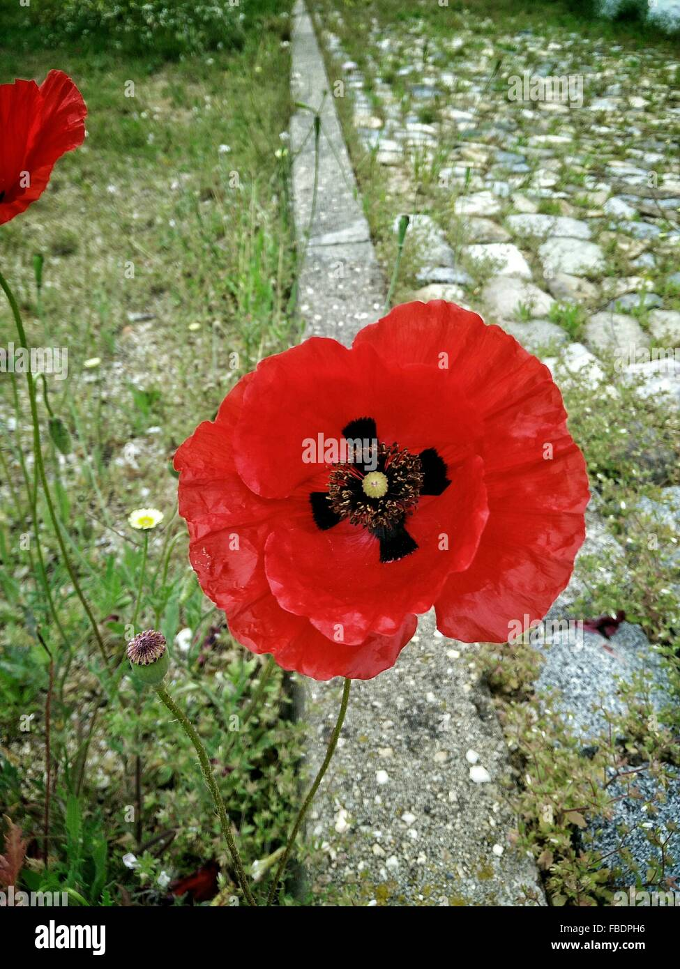 Close Up Of Poppy - Stock Image