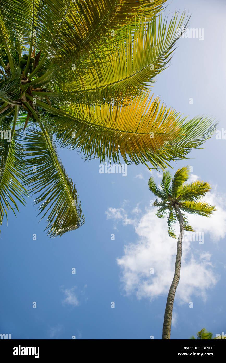 Palm trees against blue sky, St Lucia - Stock Image