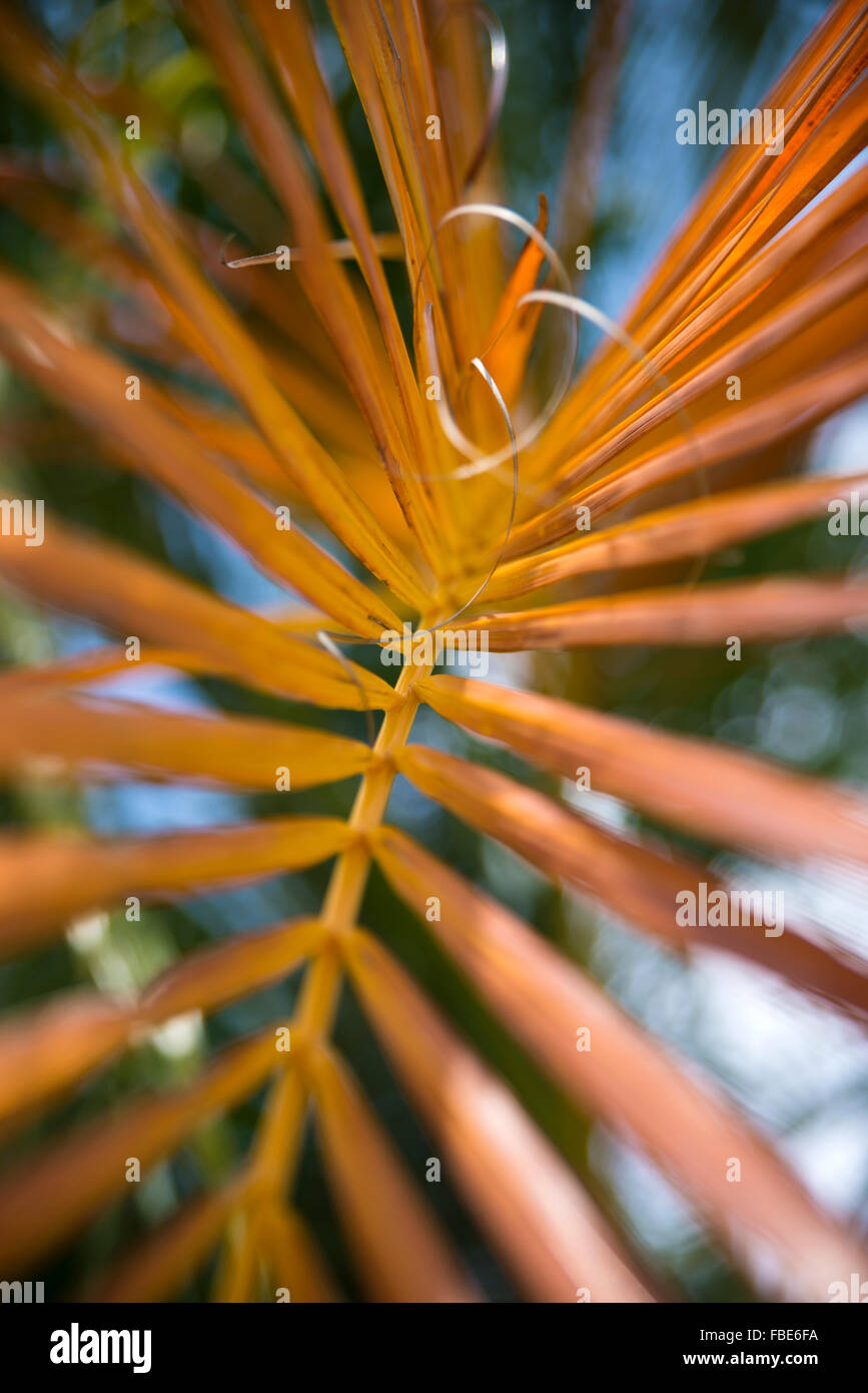 Yellow palm tree branch, St Lucia - Stock Image