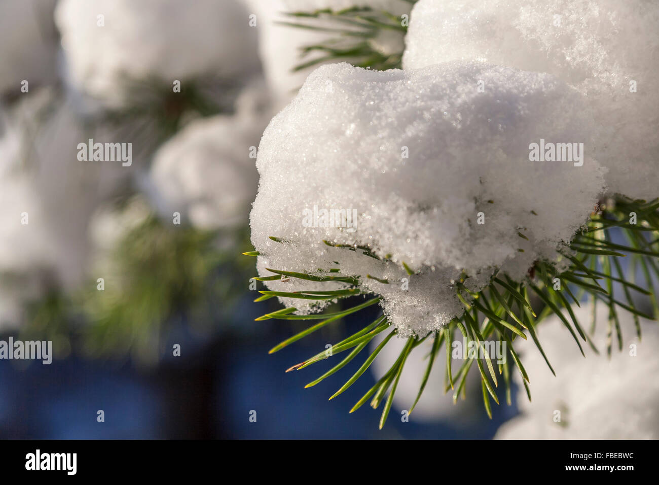 Winter Pine Tree Branch Covered With Snow - Stock Image
