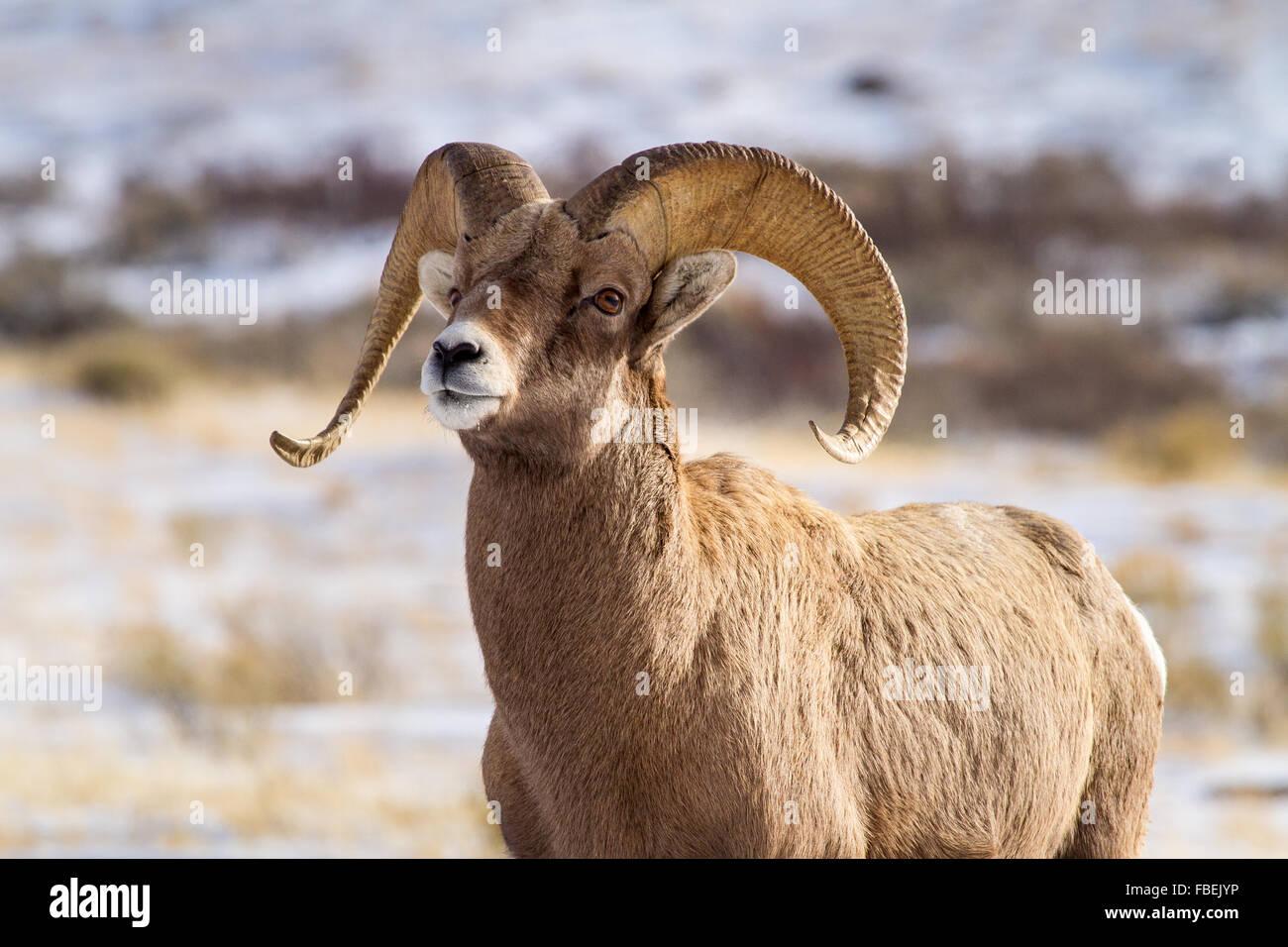 Sheep Elk Stock Photos & Sheep Elk Stock Images - Alamy