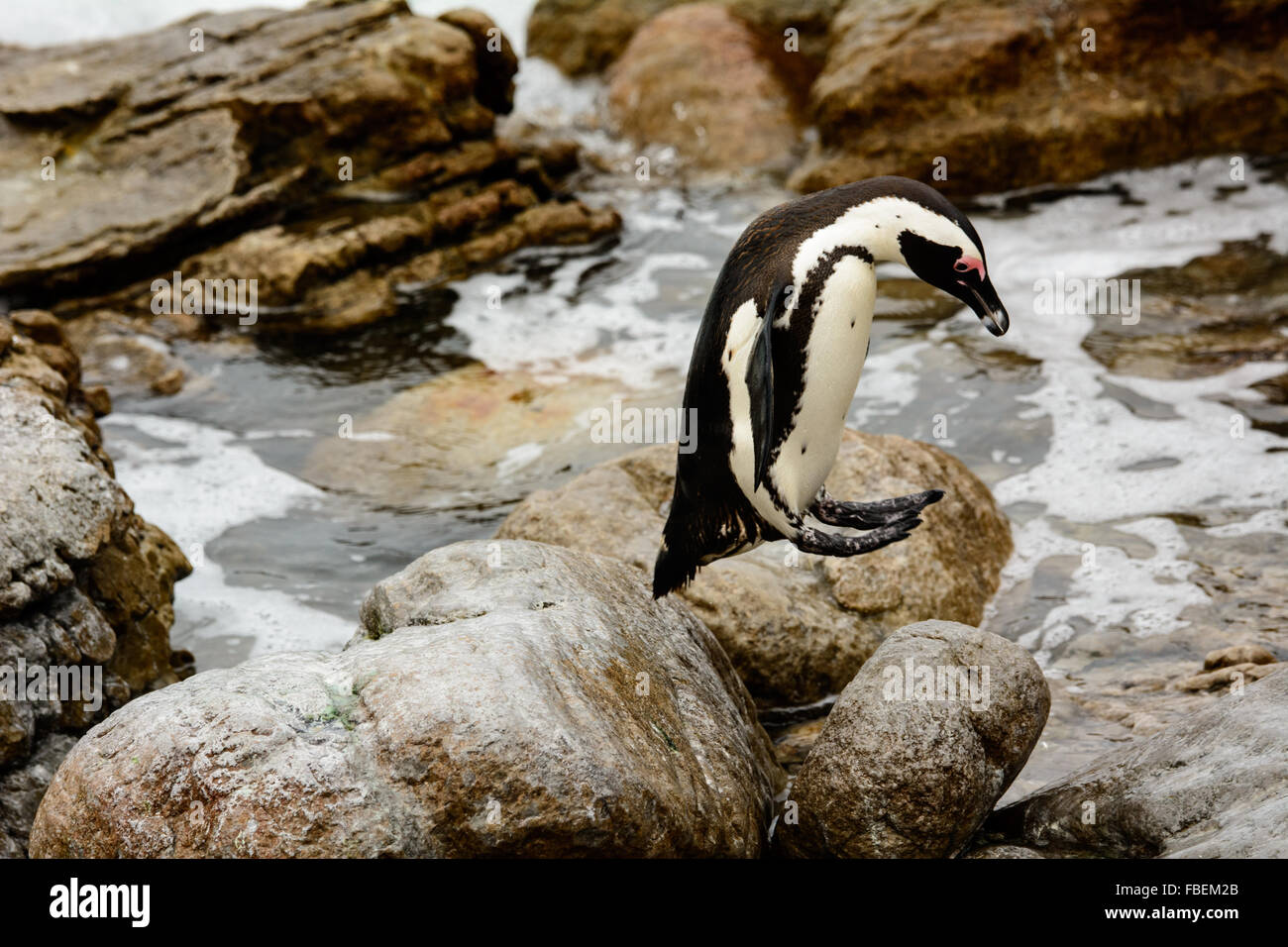 An African Penguin caught leaping in mid air - Stock Image