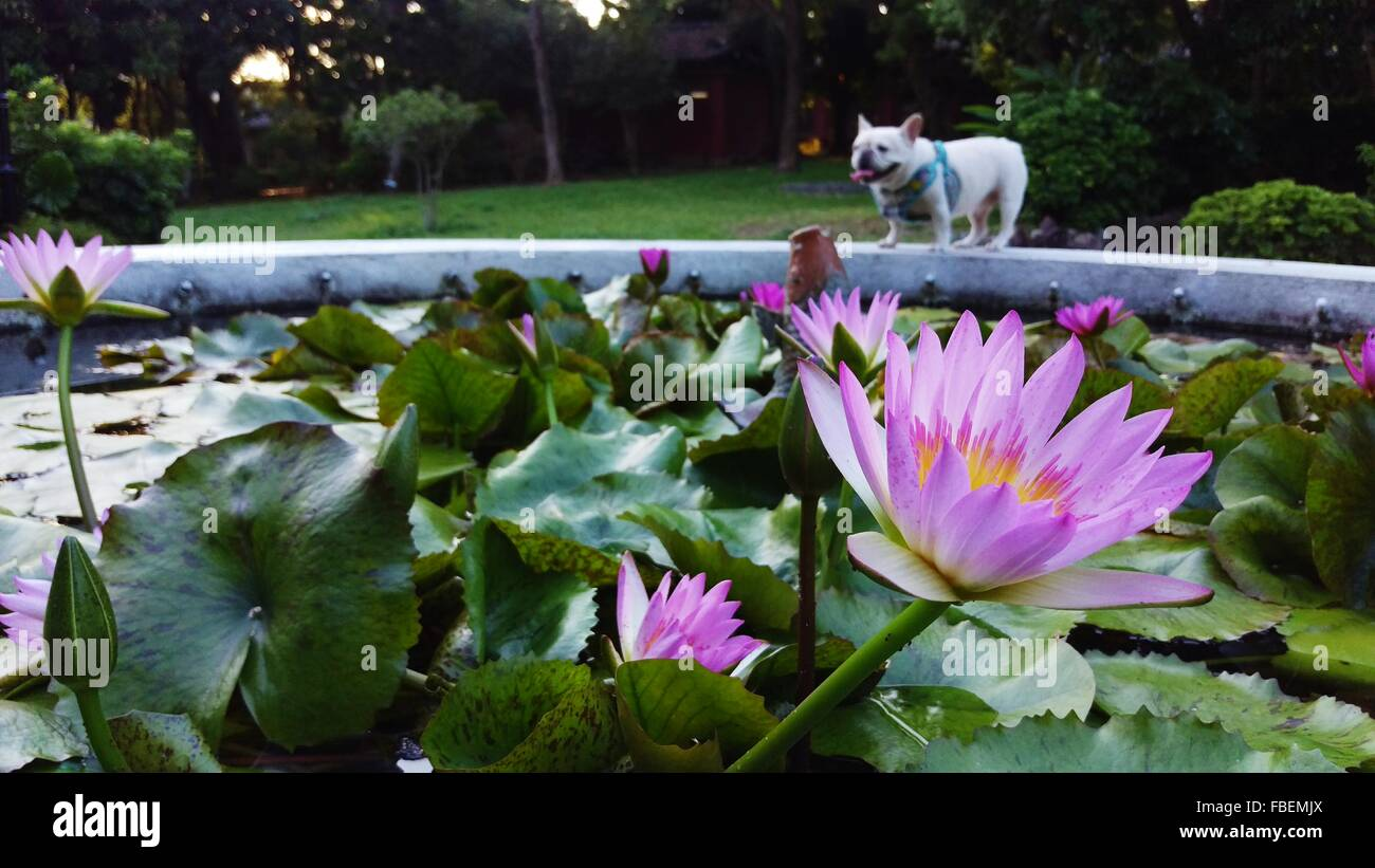 French lily stock photos french lily stock images alamy lotus water lily flowers in front of french bulldog at park stock image izmirmasajfo