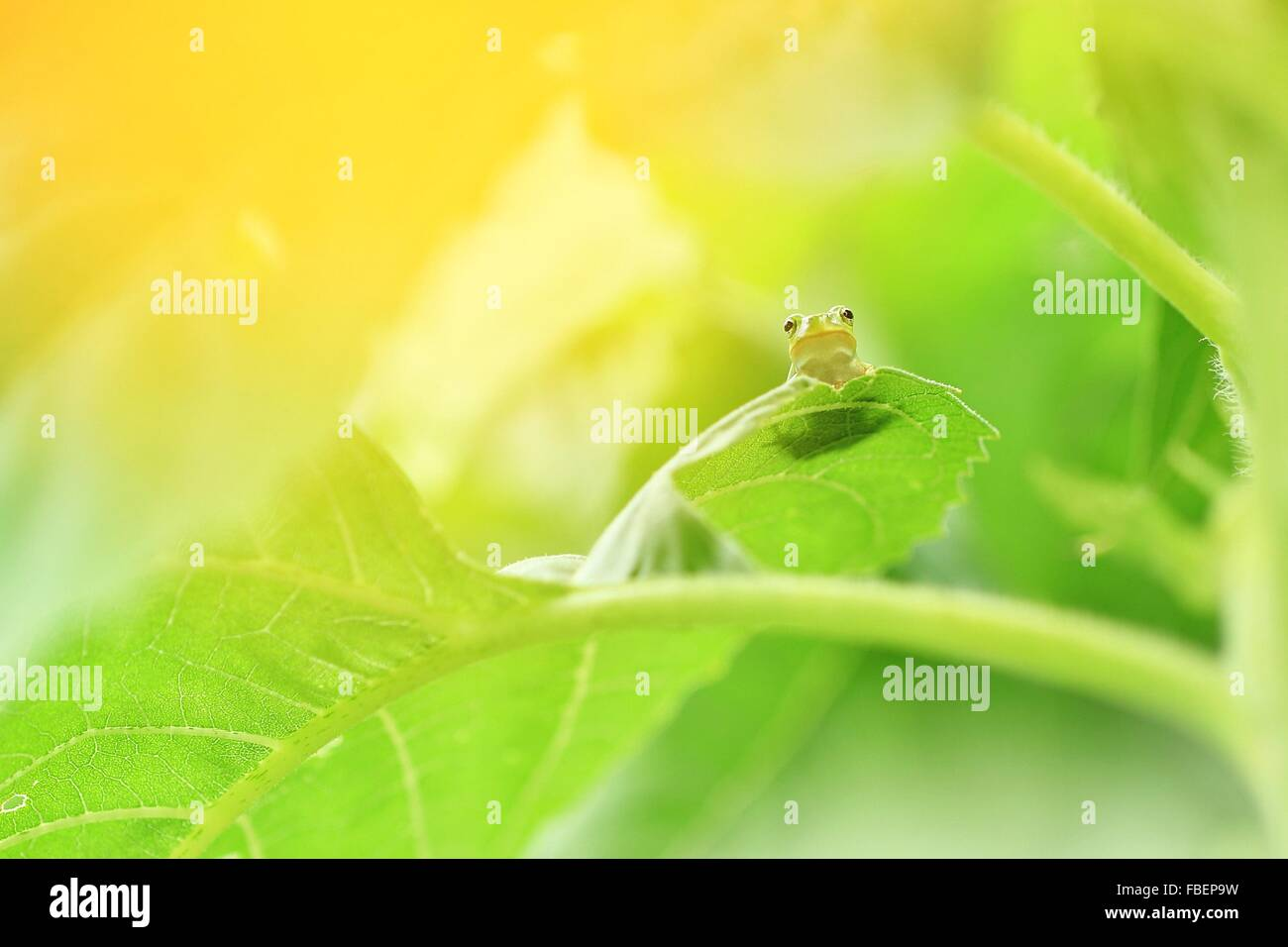 Close-Up Of Frog On Leaf - Stock Image