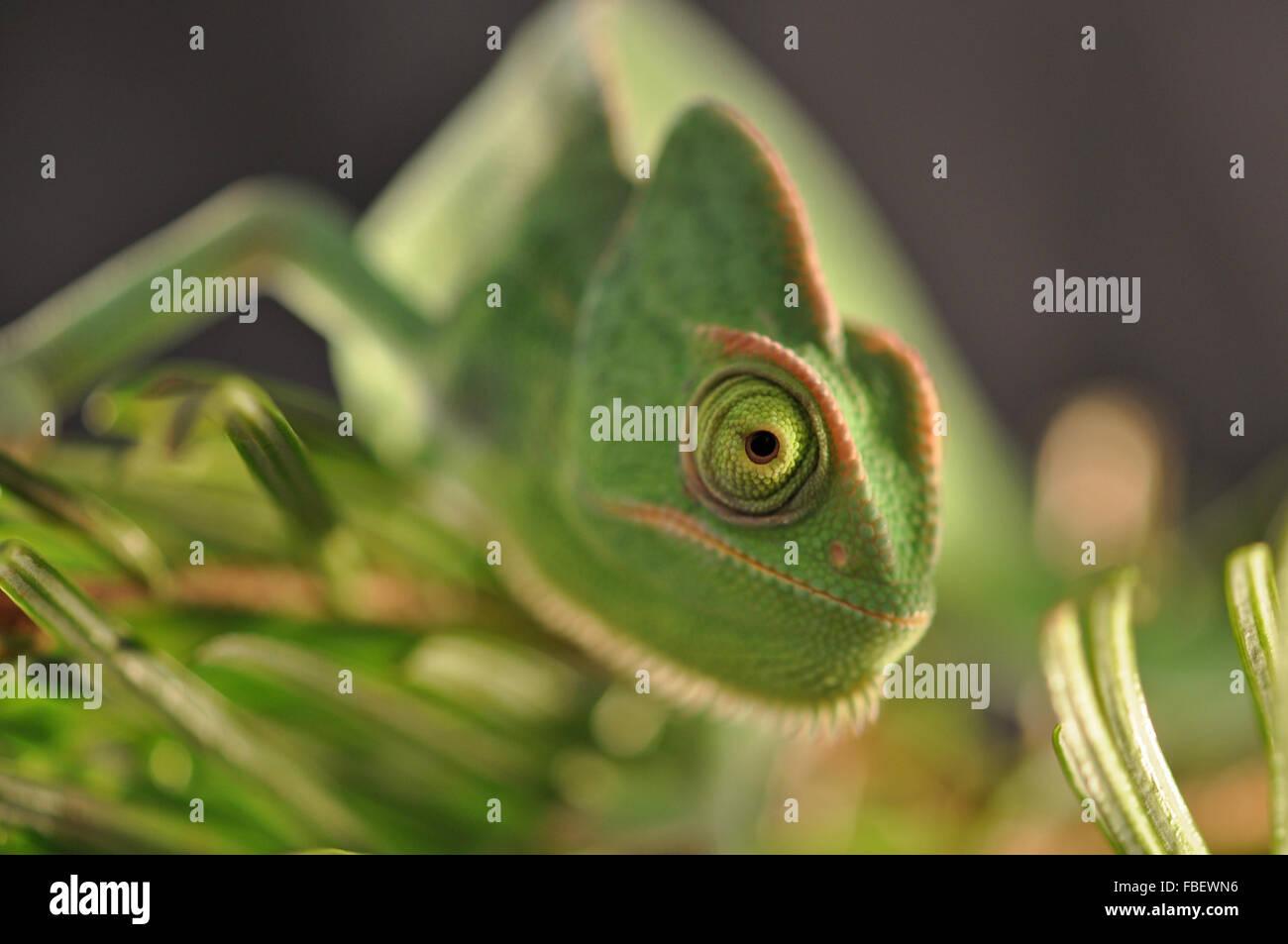 chameleon yemen - Stock Image