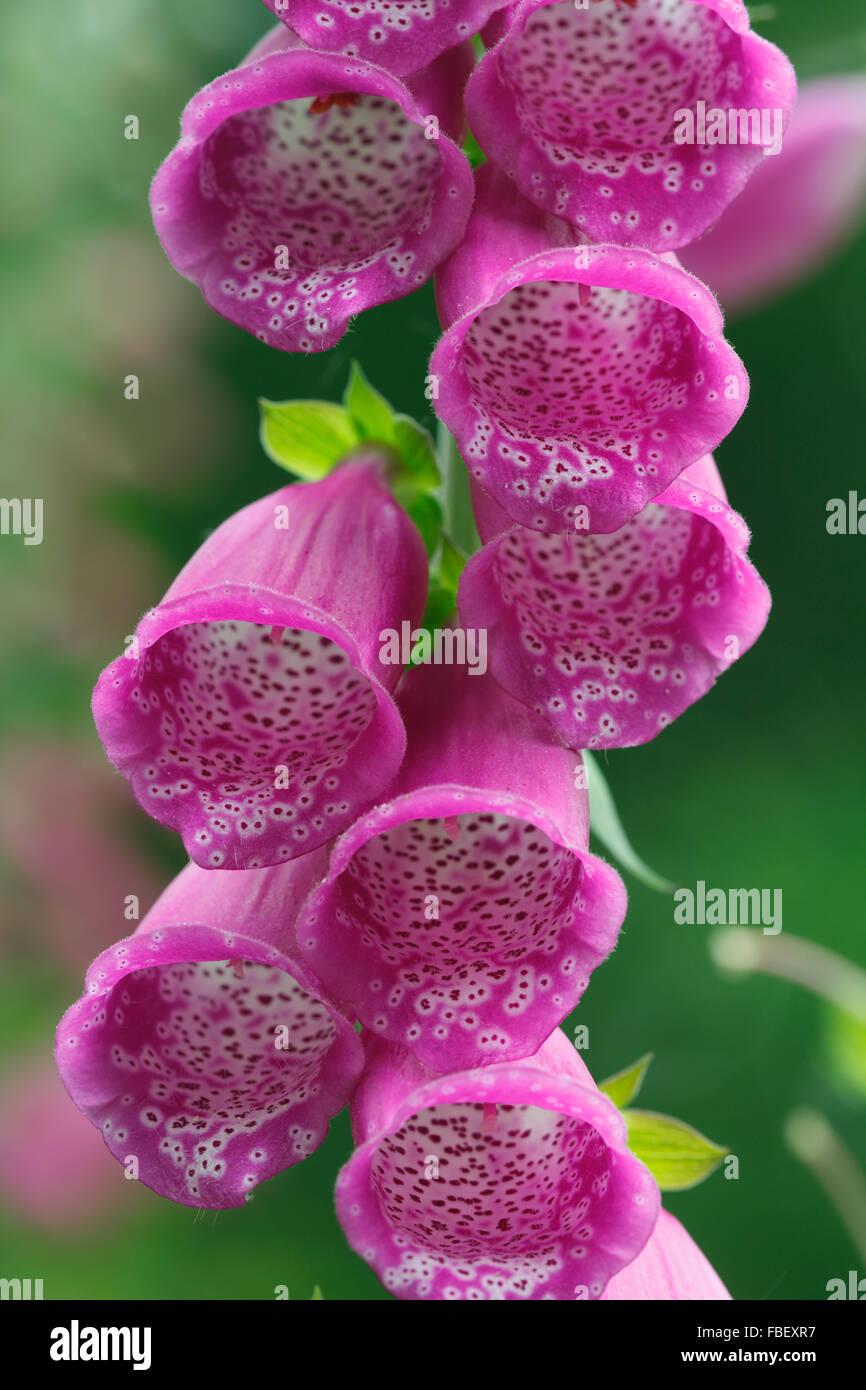 Foxgloves, Latin: Digitalis purpurea - Stock Image