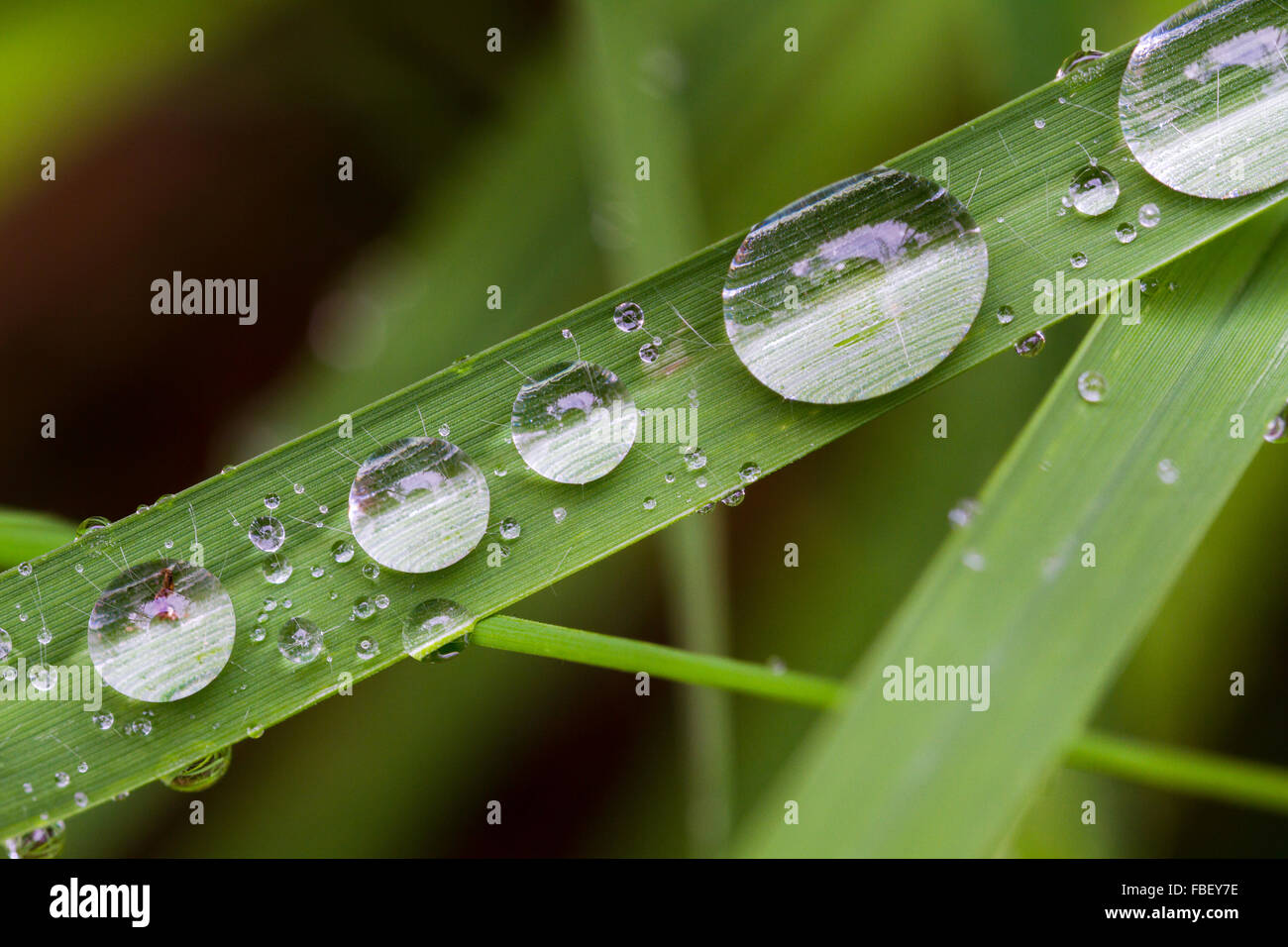 Water drops lined up on a blade of grass - Stock Image