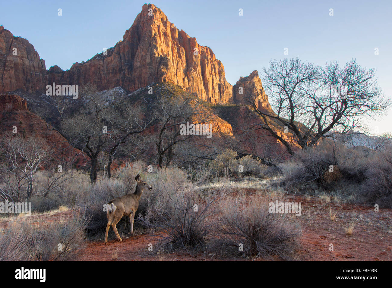 Deer and The Watchman, Zion National Park - Stock Image