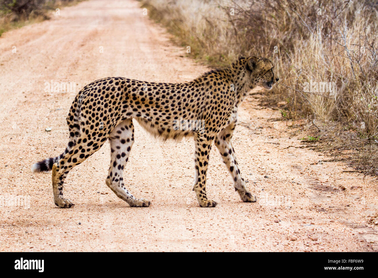 Cheetah Specie Acinonyx jubatus family of felidae Stock Photo